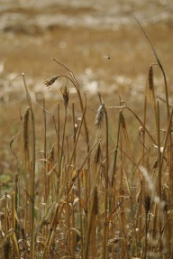 bee in the barley or fly in the rye