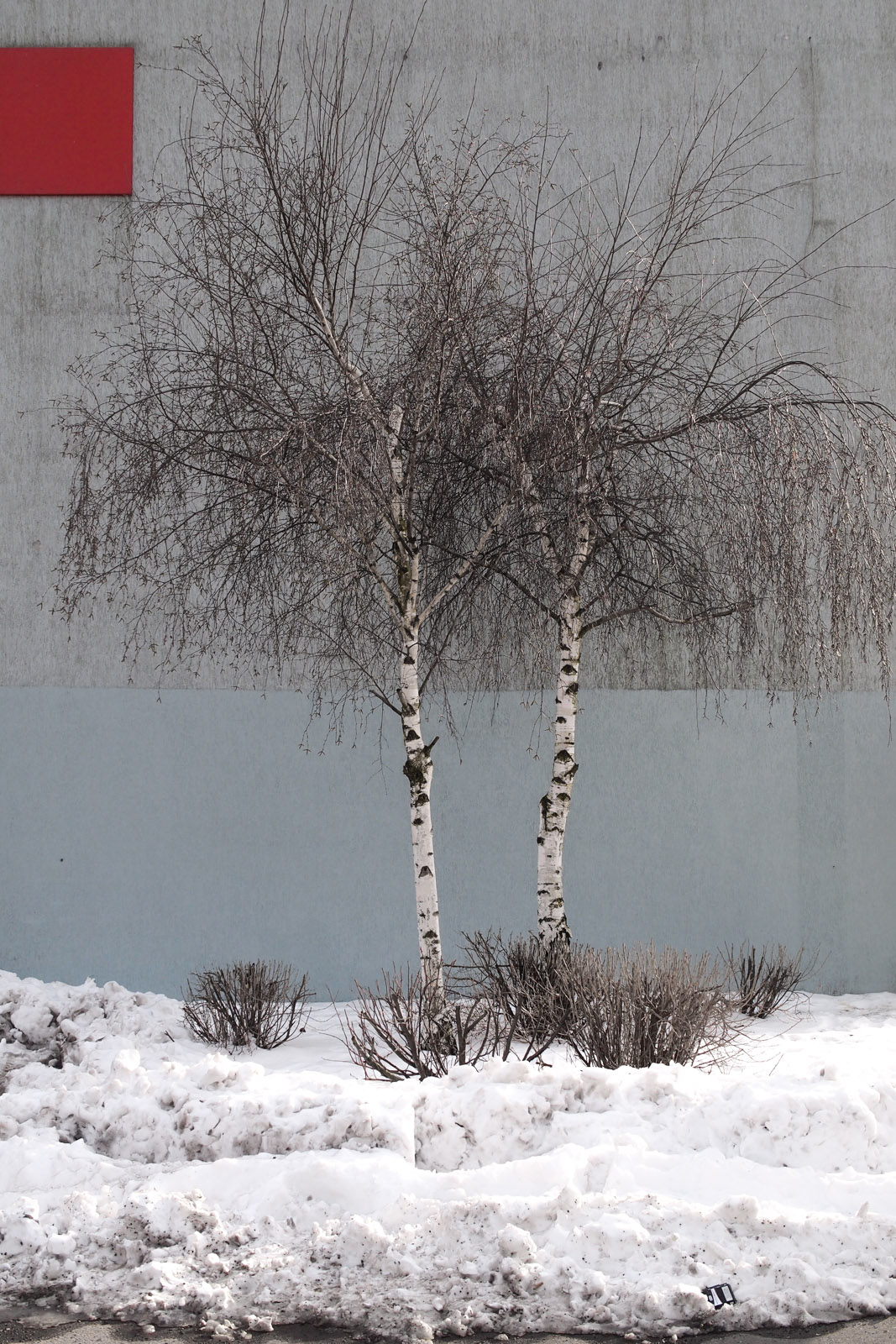 the birch twins II