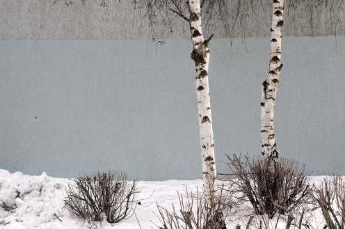 the birch twins I