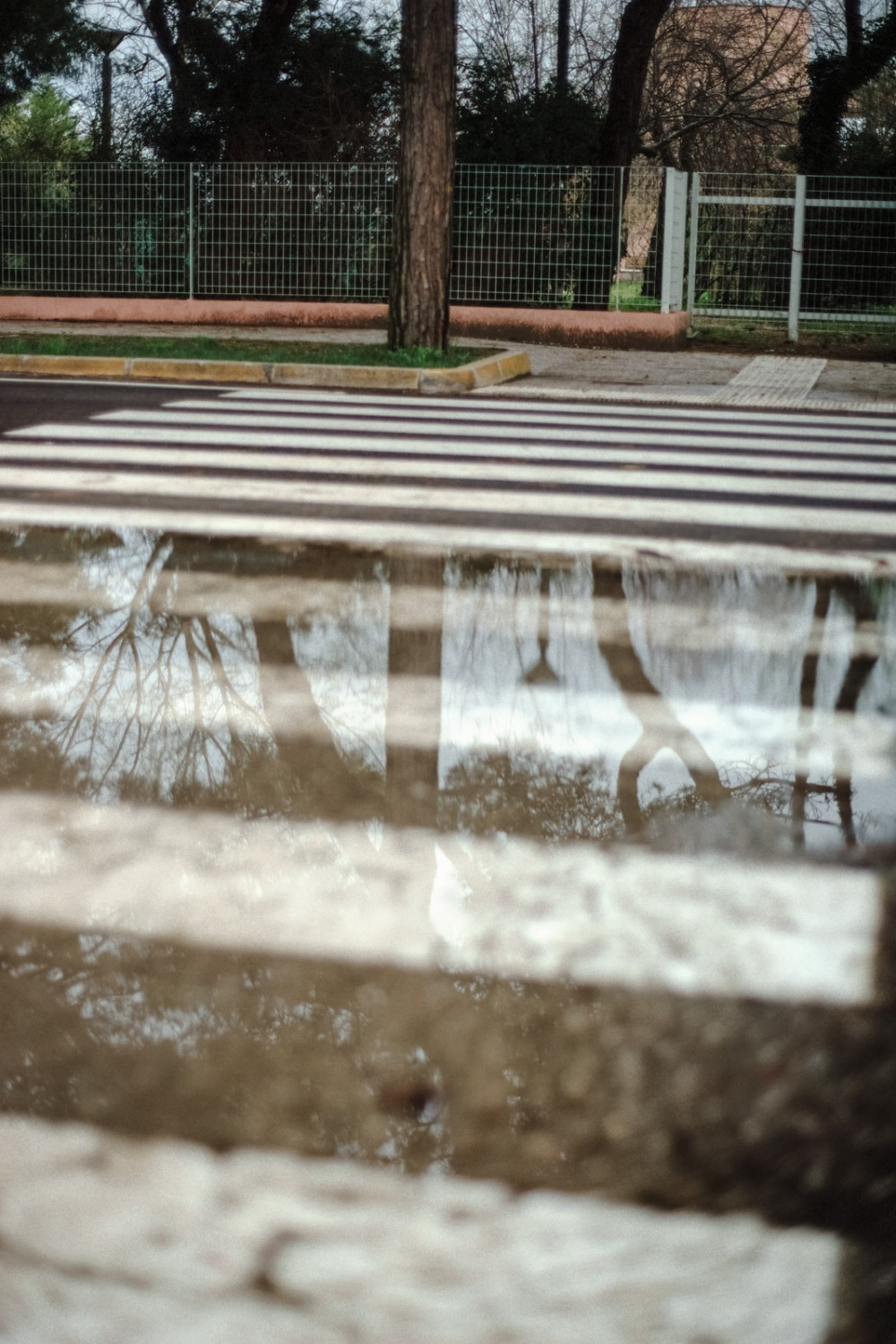 reflecting zebra